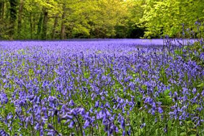 Những hình ảnh đẹp hoa chuông xanh