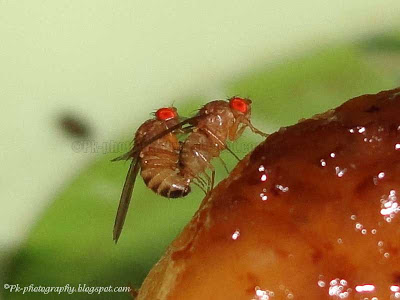 Drosophila melanogaster Mating
