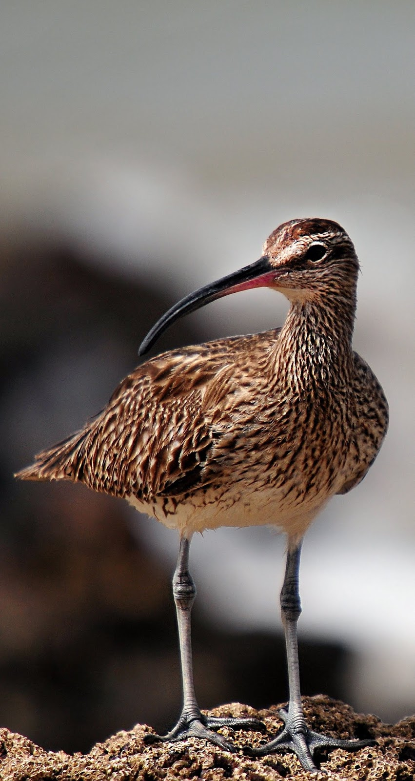 Picture of a whimbrel bird
