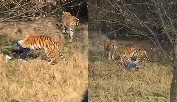 Lelaki maut dibaham harimau di depan mata isteri dan anak