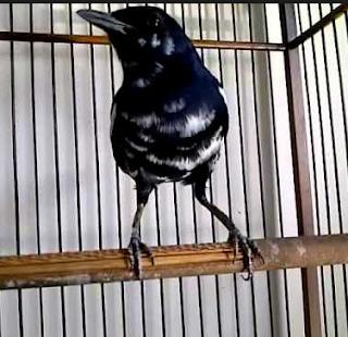 Burung Kacer Blorok