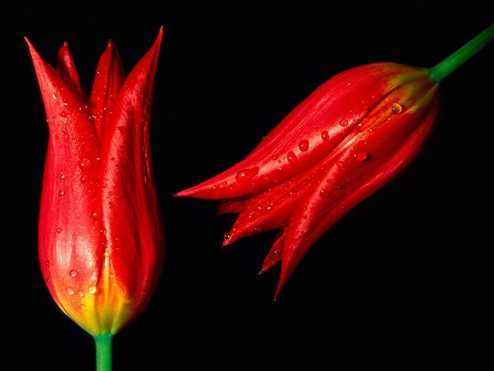 türkiyenin simgesi lale çiçek resimleri