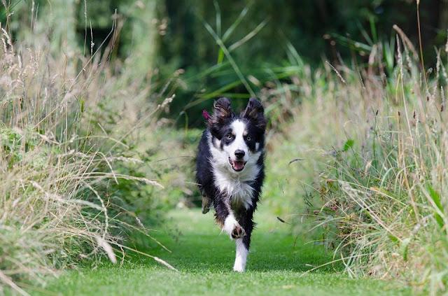 Huấn luyện chó chạy zic zắc