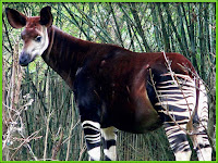 Okapi animal pictures Okapia johnstoni