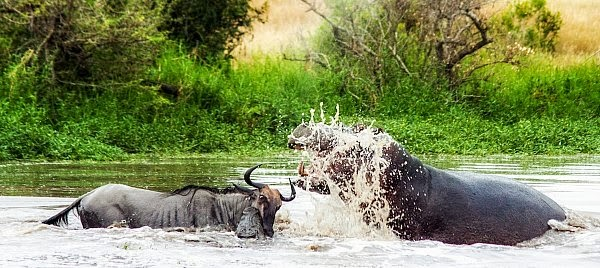 To everyone's shock hippo arrives to attack the wildebeest instead of crocodile helping crocodile take down the female wildebeest via geniushowto.blogspot.com wildlife photos