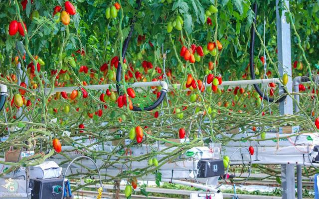 Tomatenanbau in Franken