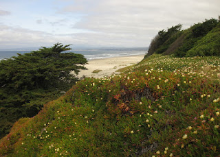 Ice plant blooming on the cliff overlooking the sandy shore of the Pacific Ocean, La Selva Beach, California