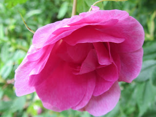 Burtown House Rose