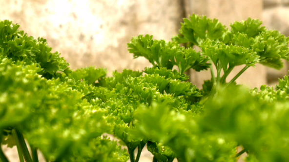 Mature curly parsley leave ready for harvesting