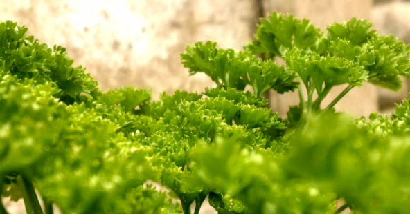 how to grow parsley from seed in a pot