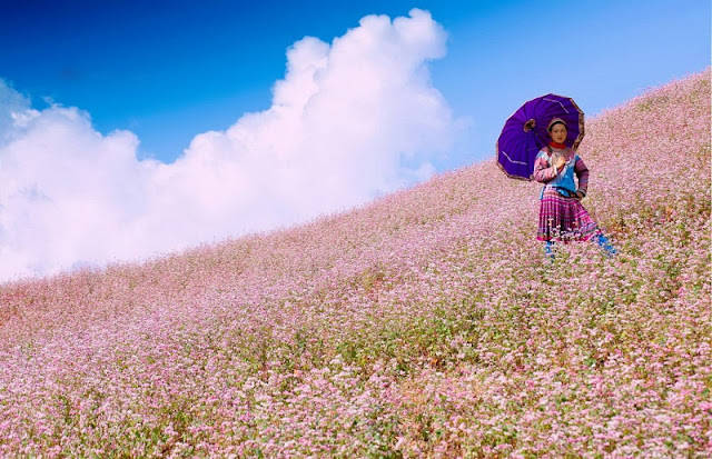 Festival circuit triangle flower in Ha Giang 3