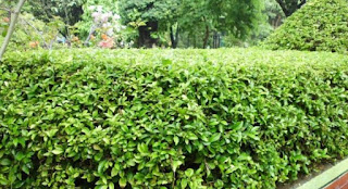 tanaman beluntas