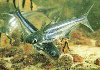 Ikan Patin Budidaya Ikan Ikan Hias Resep Ikan Gambar Dan Video
