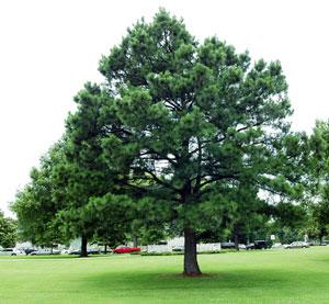 Pohon cemara bundel tanaman peneduh