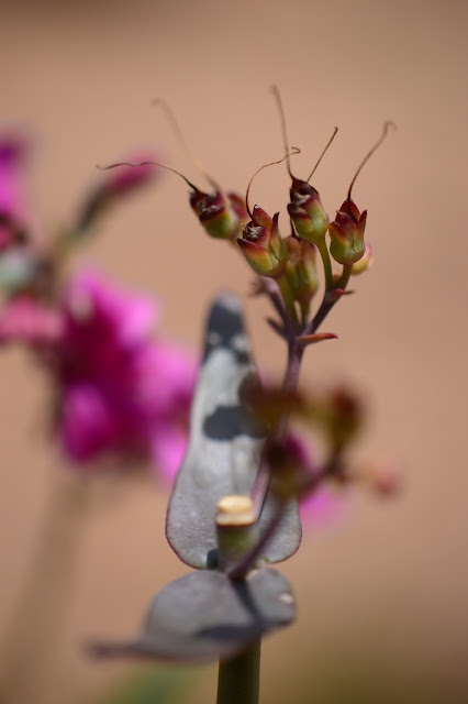 Penstemon parryi seedpods