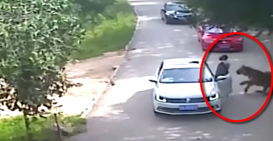 Tigre ataca mulher que desceu do carro em Safári de zoológico - Capa
