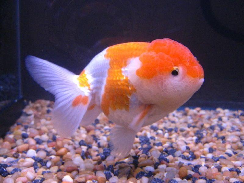 Cara Budidaya Ikan Koki Rancu Inilah Rahasianya