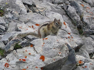 Golden-Mantled Ground Squirrel.