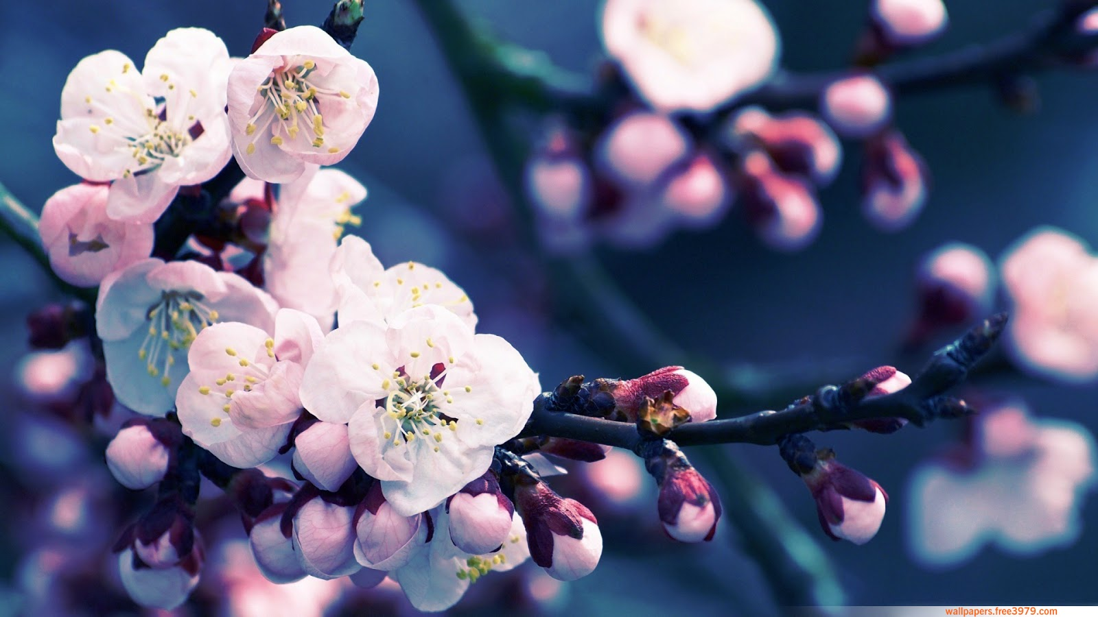 Wallpapers Wallpaper  20  Asian Cherry Blossom Flower Cherry Blossom Flower Cherry Blossom Flower Cherry Blossom Flower