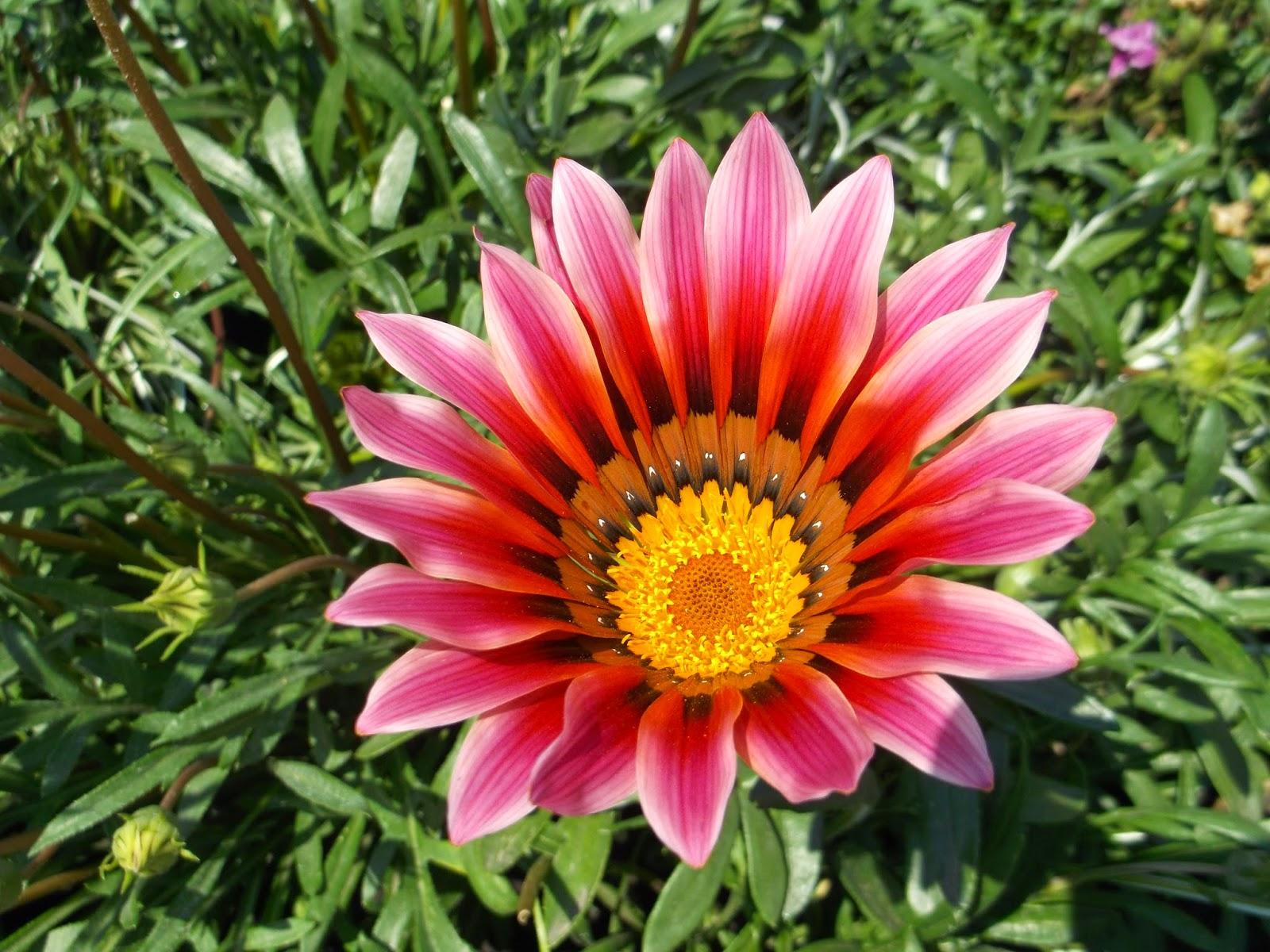 Садовые цветы с названиями с картинками