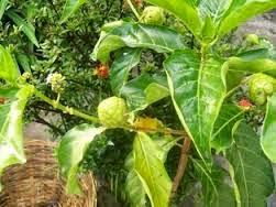 http://rajaramuan.blogspot.com/2014/09/mengenal-mengkudu-sebagai-tanaman-obat.html