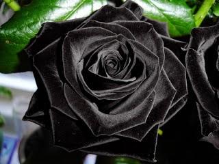 Bunga Mawar Hitam, Black Rose Flower