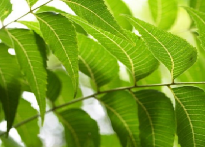 Benefits of Neem for hair, skin and health Get rid of Eczema