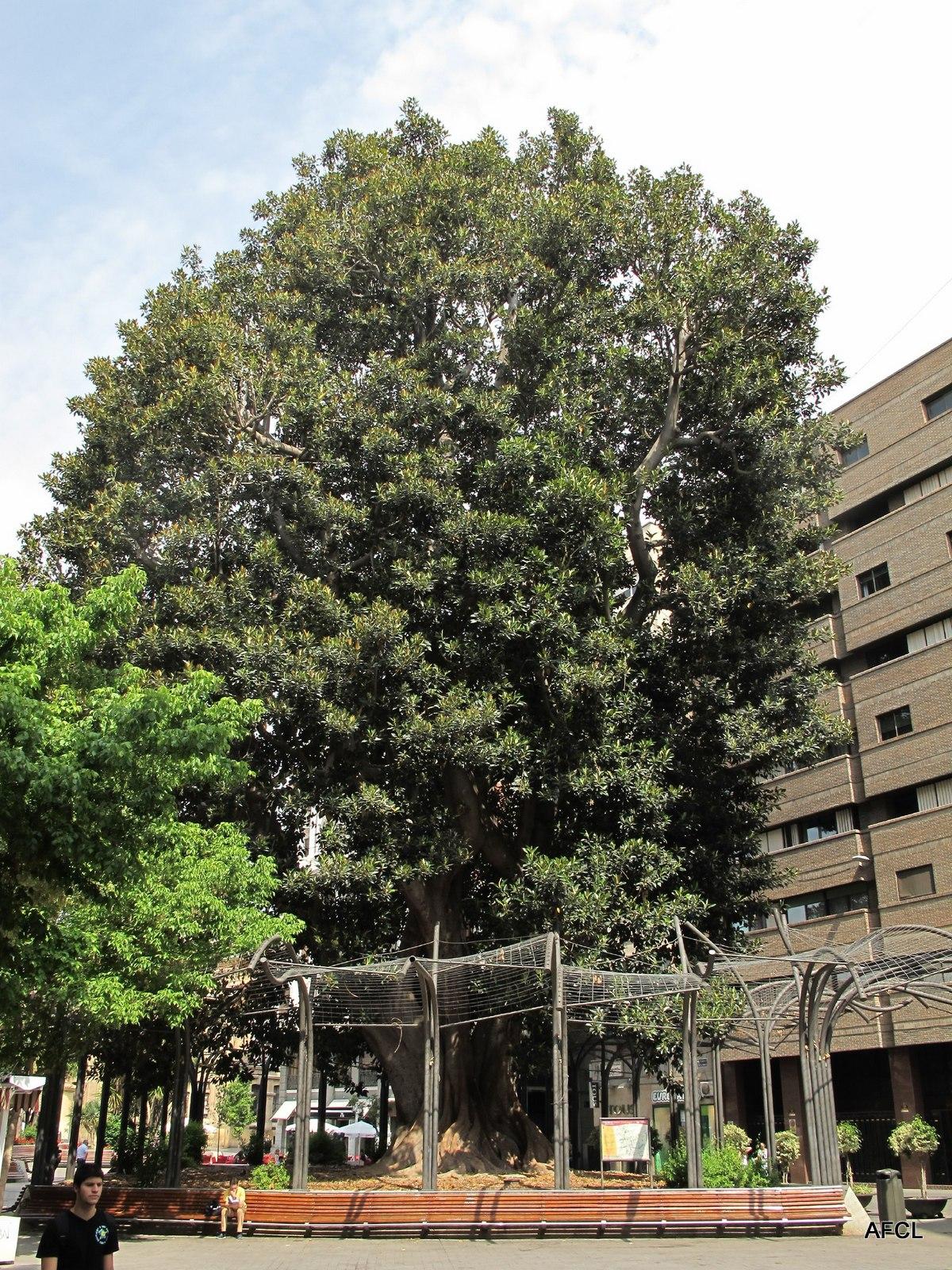 Arboles Monumentales De Murcia Y Cuenca Del Segura Tudmiria Ficus