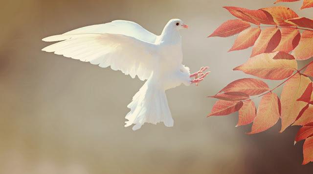Beautiful pigeon
