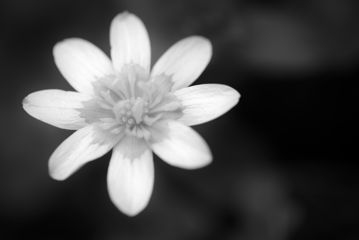 ヒメリュウキンカ(姫立金花)のモノクロ写真