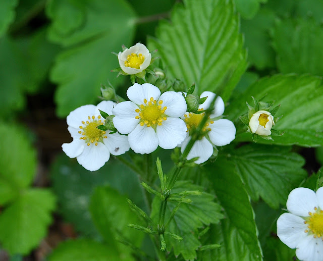 Fragaria_moschata