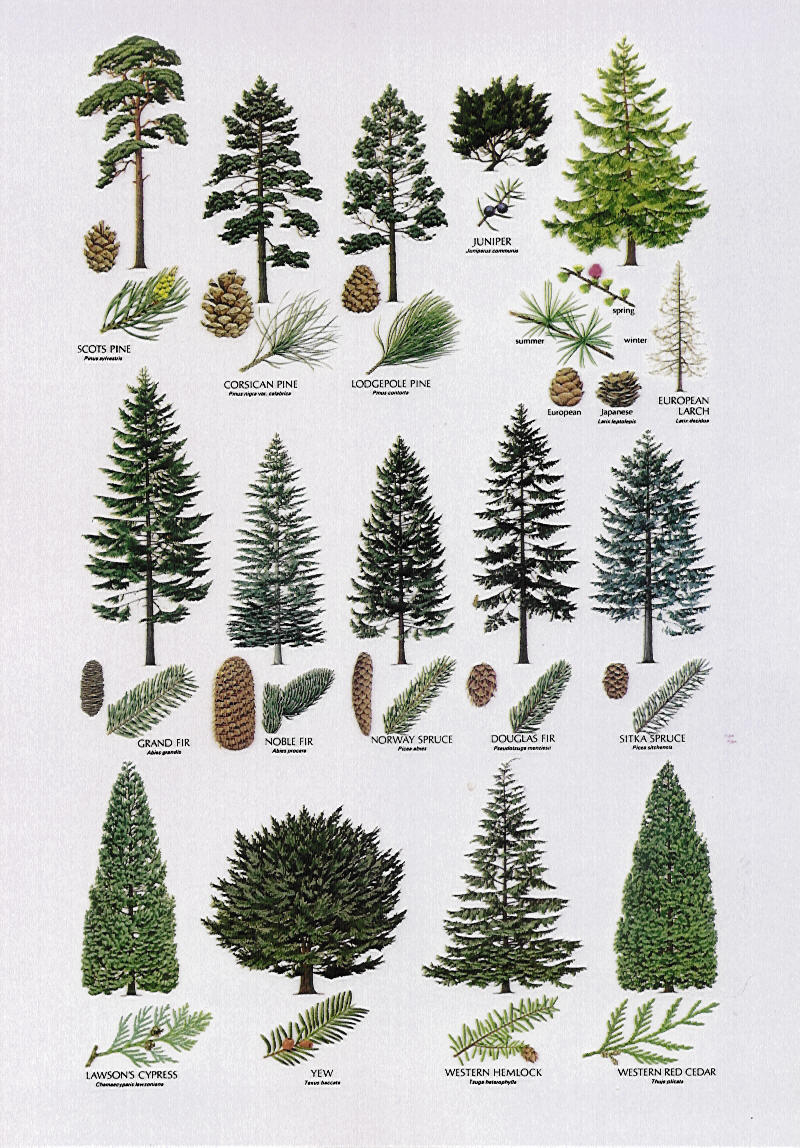 conifer species - Video Search Engine at Search.com