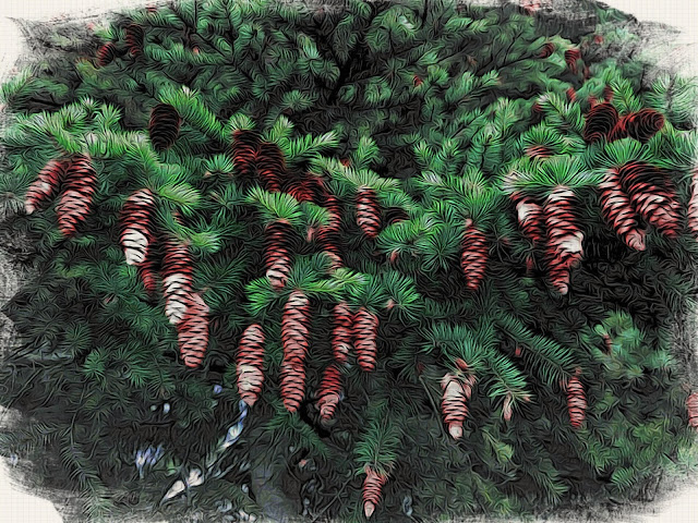 Pine Cones - Holly Massie, all rights reserved