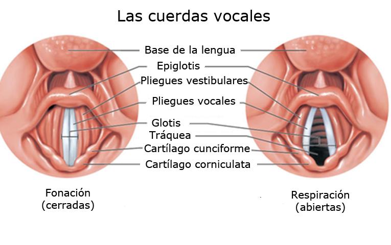 LA BIOLOGÍA EN EL CINE Y LAS ARTES: CUERDAS VOCALES, TRASTORNOS DE ...