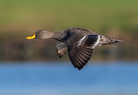 Yellow-billed duck - Birds In Flight Photography Cape Town with Canon EOS 7D Mark II Copyright Vernon Chalmers