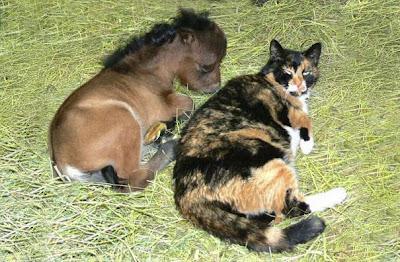 Un poni muy pequeño con un gato gigante
