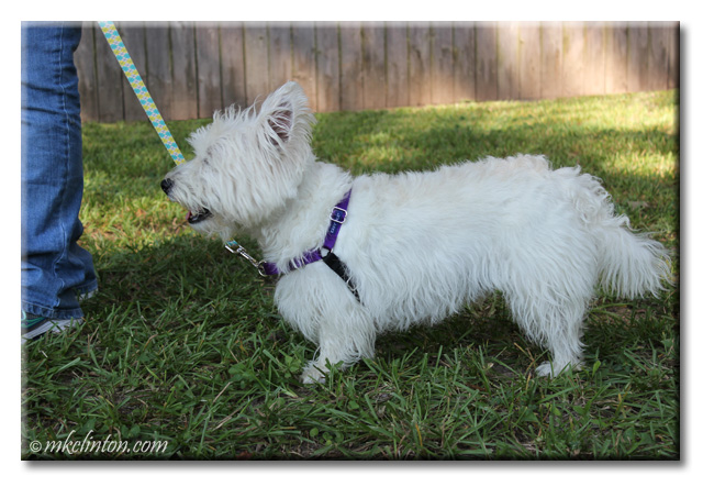 Pierre Westie modeling his new PetSafe Easy Walk Harness