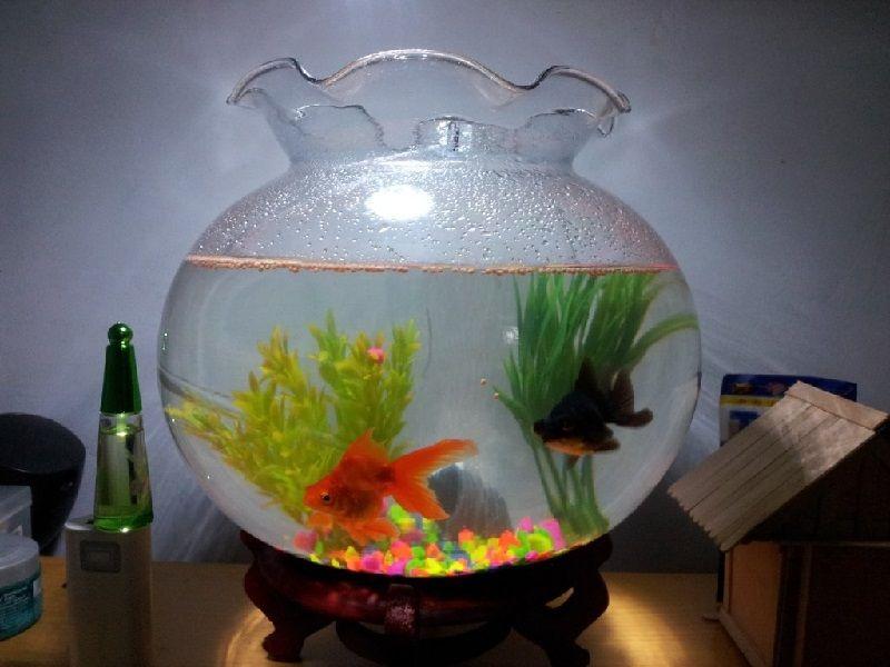 Gambar Ikan Hias Aquarium Tanpa Oksigen - Ikan Koki
