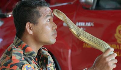 Aksi pemadam kebakaran dan king kobra.