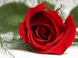 صور زهور رومانسية , صور ورد رومانسي يعبر عن الحب والرقة