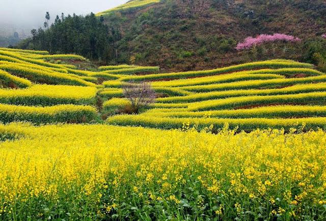 Campos de canola de Luoping – China