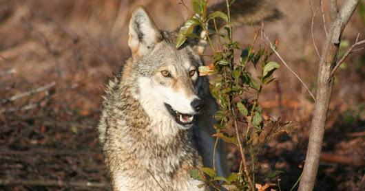 "Are Eastern/Red Wolf as a separate species from Gray Wolves or are Eastern/Red Wolves an admix of Gray Wolves and Western Coyotes?.........The back and forth debate between two of the worlds foremost teams of North American carnivore biologists/geneticists led by von Holdt(the admix avocates) and Hohenlohe/Rutledge(the distinct species advocates) was heightened with the release of the June 2017 Hohenlohe  paper in SCIENCE ADVANCES MAGAZINE entitled : COMMENT ON ""WHOLE-GENOME SEQUENCE ANALYSIS SHOWS TWO ENDEMIC SPECIES OF NORTH AMERICAN WOLF ARE ADMIXTURES OF THE COYOTE AND GRAY WOLF""...............Bottom line is that the Hohenlohe/Rutledge teams study of the vanHoldt research has them concluding that in fact ""their(vonHoldt) data do not support a lack of unique ancestry in red and eastern wolves"",,,,,,,,""Rather, substantial evidence still supports the conclusion that red and eastern wolves represent genetically distinct taxa among North American canids""............""The team's review of the vonHoldt study's analyses of genomic data finds the data do not establish definitive evidence for a recent hybrid origin of red and eastern wolves(the Gray Wolf/Coyote admix proposition), but rather are consistent with multiple evolutionary possibilities""..............""Other data from the previous(vohHoldt) study, such as the amount of unique genetic variation found only within red or eastern wolves, further support the genetic distinctiveness of these(Eastern/Red Wolf) taxa""............ ""These possibilities include red wolves originating from a hybridization event tens of thousands of years ago, or diverging as a distinct lineage as long as 100,000 years ago and experiencing some subsequent hybridization"".............""Along with the ecological role of top predators and the benefits they provide to ecosystems through natural regulation, we believe that these genomic data argue for continued recognition of red and eastern wolves as distinct taxa for the purpose of conservation policy"""