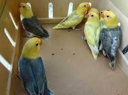 6 Jenis Burung Love Bird Parblue Yang Sudah Ada Di Indonesia