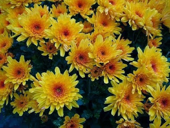 http://www.funmag.org/pictures-mag/flowers/chrysanthemum-flowers-festival-in-germany/
