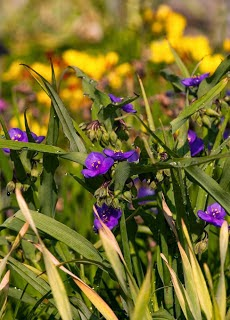 The Tradescantia plan, familiarly known as widows tears with it's deep bluish purple blooms.