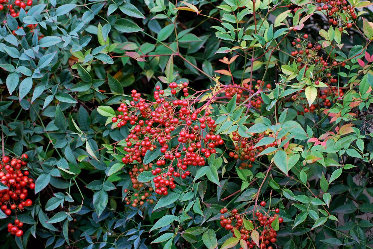 Piante Piccole Da Giardino il mondo in un giardino: a proposito di bacche: nandina