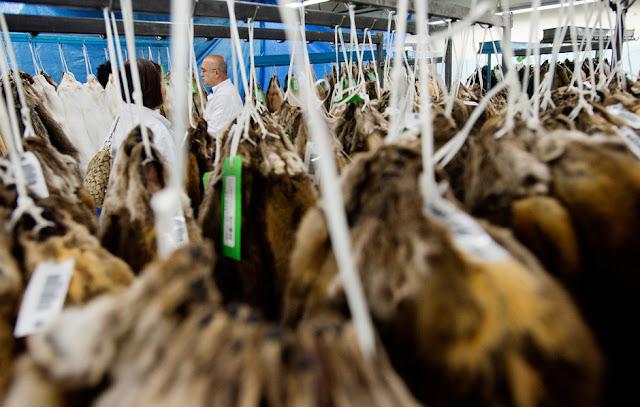 Το εμπόριο γούνας του Καναδά ανθεί και πάλι - χάρη στη ζήτηση από νέους καπιταλιστές της Κίνας