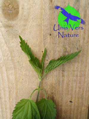 ortie, urtica sp. stages plantes sauvages, Jura, Ain, Bourgogne