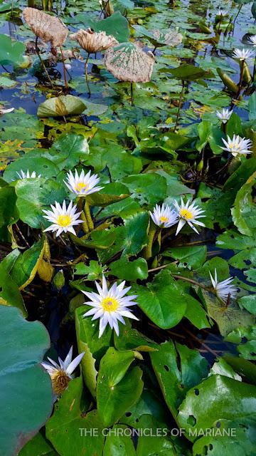 lotus taiwan