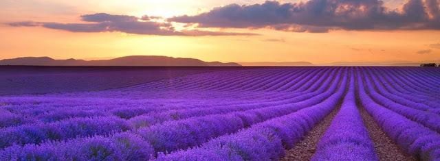 cánh đồng hoa oải hương đẹp nhất thế giới 26